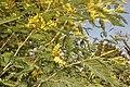Acacia dealbata in the Jardin des Plantes de Paris 003.JPG