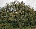 Acacia leucophloea flowering in Vanasthalipuram, Hyderabad, AP W IMG 9230.jpg