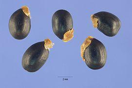 Acacia mearnsii seeds.jpg