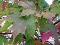 Acer rubrum 10zz.jpg
