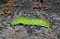Achateule-phlogophora-meticulosa.jpg