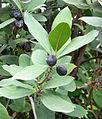 Acokanthera oblongifolia kz5.JPG