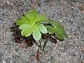 Aconitum napellus 2018-05-22 2603.jpg