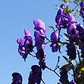 Aconitum sp.-IMG 5581.jpg