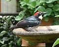 Acorn Woodpecker Melanerpes formicivorus striatipectus, male, Costa Rica 1.jpg