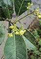 Acronychia pedunculata 27.JPG