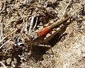 Acrotylus cf. patruelis. Acrididae - Flickr - gailhampshire.jpg