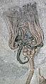 Actinocrinites gibsoni fossil crinoid & fossil starfish (Mississippian; Crawfordsville, Indiana, USA) (17365940676).jpg