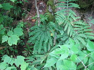 <i>Adiantum viridimontanum</i> A rare fern found only in outcrops of serpentine rock in New England and Eastern Canada
