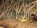 African Bullfrogs.jpg