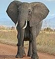 African Bush Elephant (cropped).jpg