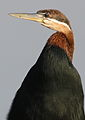 African Darter, Anhinga rufa at Marievale Nature Reserve, Gauteng, South Africa (21156999946).jpg