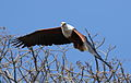 African fish eagle, Haliaeetus vocifer, at Lake Chivero, Harare, Zimbabwe (21746363110).jpg