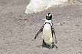 African penguin, Spheniscus demersus, at Stony Point, Betty's Bay, Western Cape, South Africa (25260436725).jpg