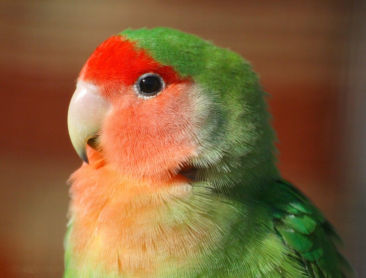 Citaten Love Bird : File agapornis roseicollis wingham wildlife park g