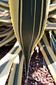 Agave americana Variegata 3zz.jpg