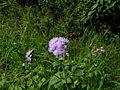 Ageratum houstonianum flower3 (11509056974).jpg