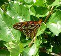 Agraulis vanillae vanillae, Gulf Fritillary. - Flickr - gailhampshire (1).jpg