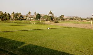 Chittoor district - Agriculture near Chittor