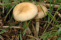 Agrocybe.praecox4.-.lindsey.jpg