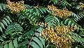 Ailanthus altissima, Santa Coloma de Farners 04.jpg
