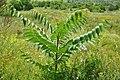 Ailanthus altissima Ab-166.jpg