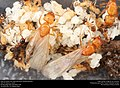 Alate ant queen with deformed wing (Pheidole dentata) (42171523182).jpg