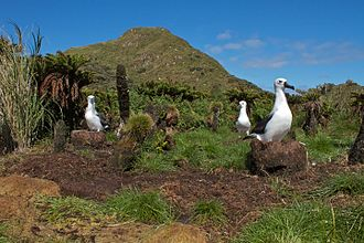 Nightingale Island - Albatrossess nesting in fernbrush on Nightingale Island