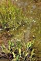 Alisma plantago-aquatica Prague 2012 1.jpg