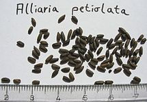 Alliaria-petiolata-seeds.jpg