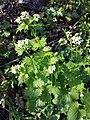 Alliaria petiolata sl12.jpg