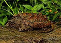 Alligator Snapping Turtle (Macrochelys temminckii) (35856633000).jpg