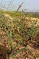 Allium ampeloprasum - Tarnest.jpg
