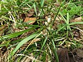 Allium monanthum 5.JPG