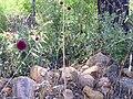 Allium sphaerocephalon Habitat 2010-6-24 DehesaBoyaldePuertollano.jpg