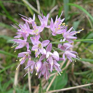 Allium stellatum - Allium stellatum