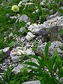 Allium victorialis ENBLA02.jpg