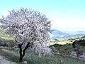 Almond blossom (5561007173).jpg