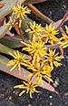Aloe buhrii 002.jpg