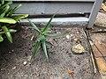 Aloe cameronii florida.jpg