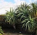 Aloe speciosa, Victoria Esplanade Park (8).jpg