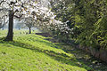 Along the Ha-ha with flowering tree looking south at the west of Wollaton Hall Park, Nottingham, England.jpg