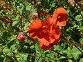 Alonsoa warscewiczii (Scrophulariaceae) flowers.JPG