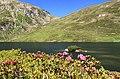 Alpenrosen am Murgsee.jpg