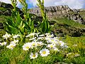 Alpine flowers - Juniku mountains.JPG