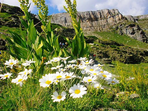 Alpine flowers - Juniku mountains