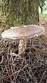 Amanita brunneolocularis Tulloss, Ovrebo & Halling 875065.jpg
