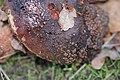 Amanita rubescens 107716378.jpg