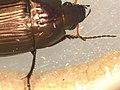 Amara sp. (37106453782).jpg