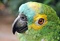 Amazona aestiva -captive -head-8a.jpg
